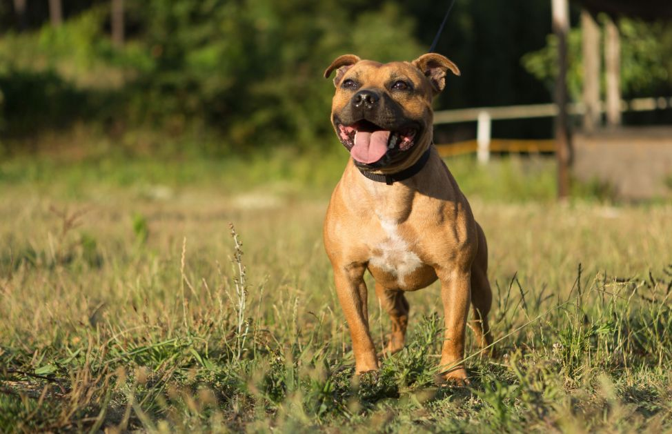 Amstaff e Pitbull, affinità e differenze